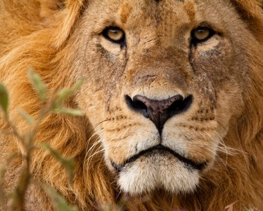 lejon, kattdjur, big five, stora kattdjur