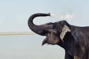 afrikansk elefant, elefantarter, elefanter i afrika, regnskogselefant, skogselefant, savannelefant, stäppelefant, asiatisk elefant