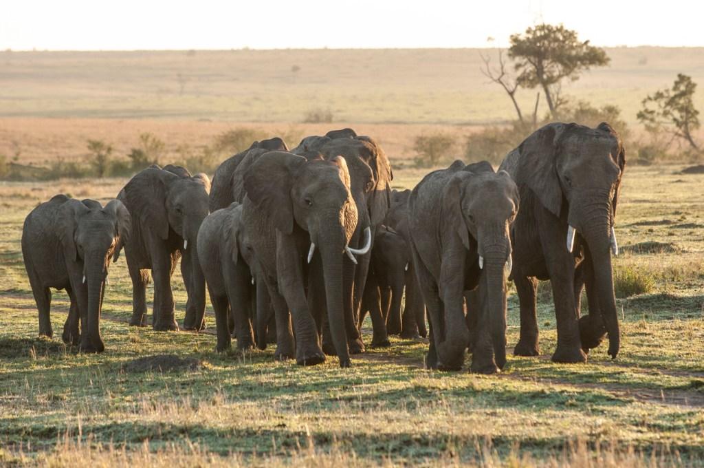 elefanter, elefantarter, stäppelefanter
