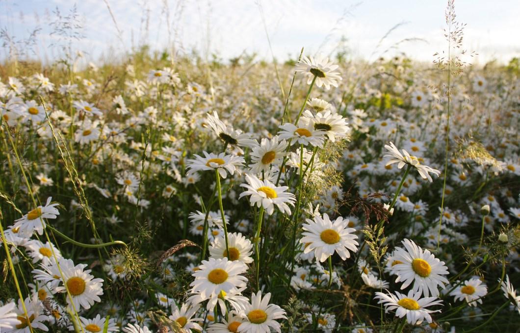 vilda blommor i Sverige, sommarblomma, sommarblommor