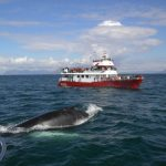Whale Watching Iceland Humpback Boat Elding