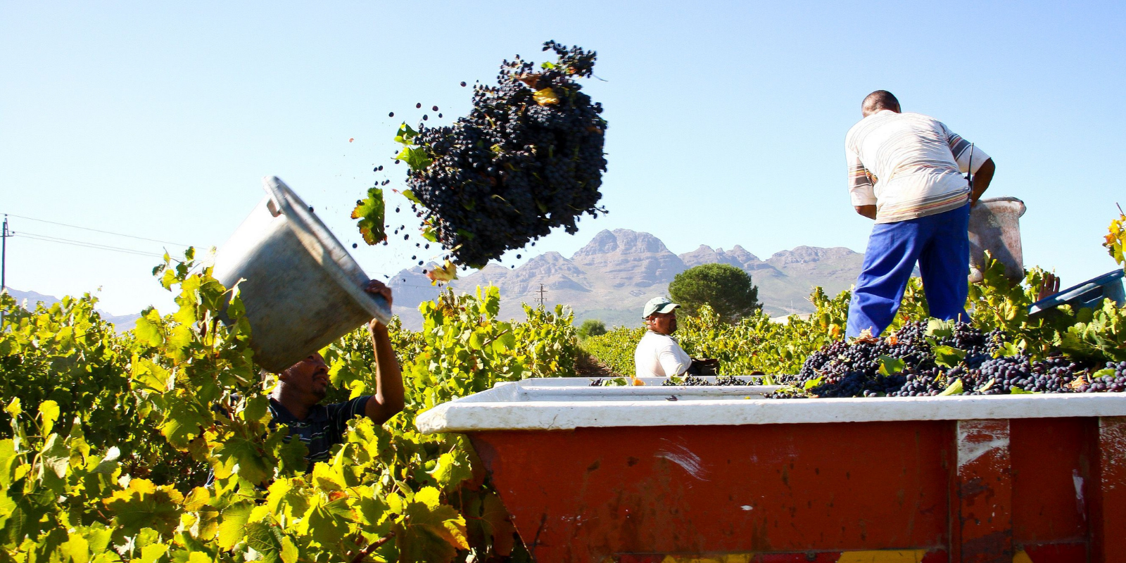 Fairtrade Africa – A Guide to Ethical Cape Wineries