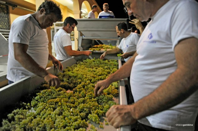 Sorting-Table-Chardonnay-Night-Harvest-Sicily-Donnafugata