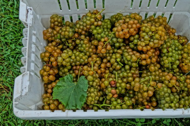 White Wine Grapes Hand Harvested in a basket 2014