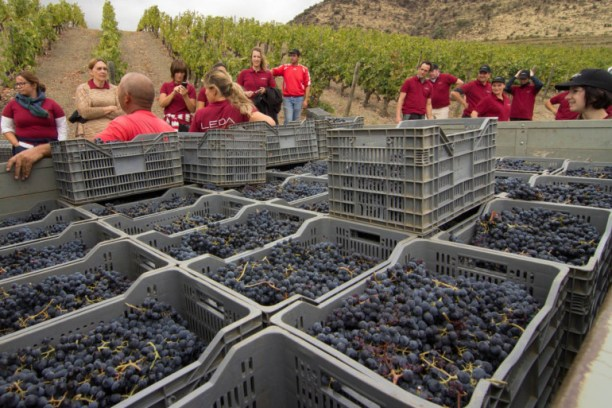 Hand Picked Grape Harvest in 2012 Douro Portugal