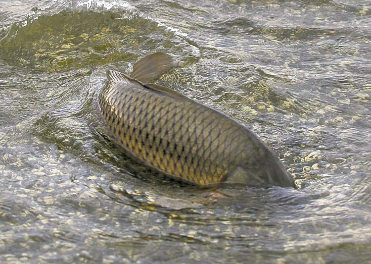Common Carp Invasive Species