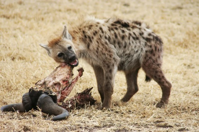 Fantastically Wrong The Poor Misunderstood Hyena Cant Help That It Has Weird Sex