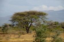 Bikupor i träd, Tanzania
