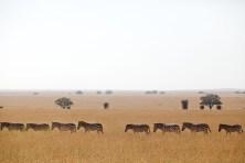 Zebror på rad, Tanzania
