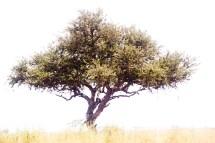 Leopardi träd, Tanzania