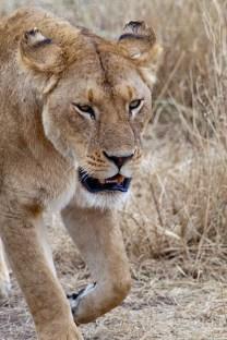 Lejonhona, Tanzania