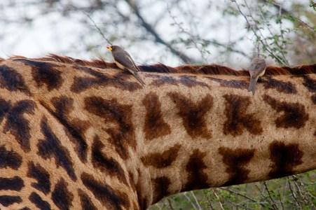 Fågel på giraff, Serengeti, Tanzania