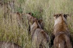 Lejon på led, Serengeti, Tanzania