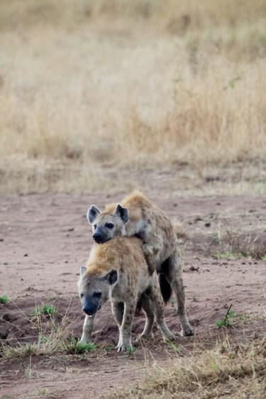 Hyenor som gökar, Tanzania