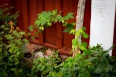 En liten humle som växer vid gamla ingången.