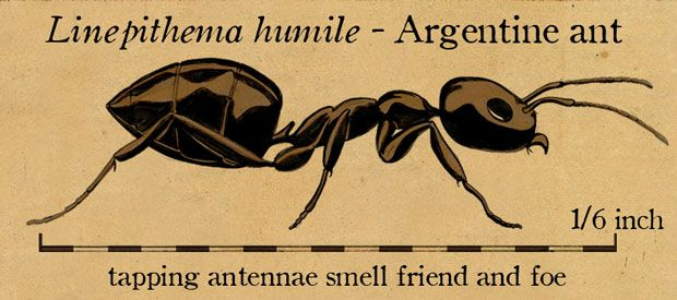 Drawing of an Argentinte Ant