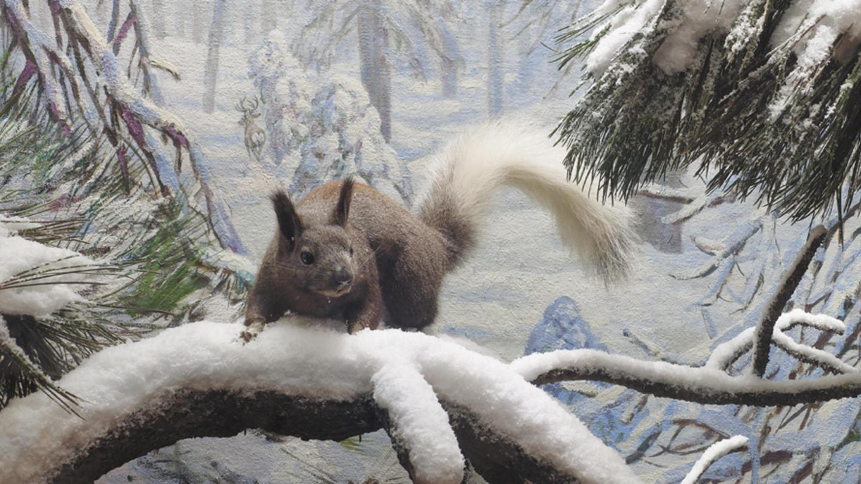 Abert's Squirrel Diorama in the Bernard Family Hall of North American Mammals