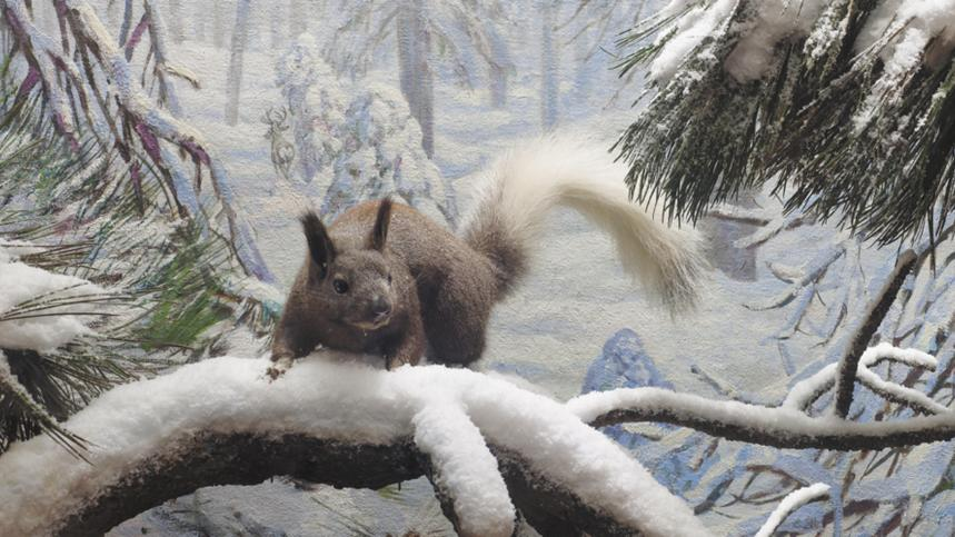 Abert's Squirrel Diorama in the Bernard Family Hall of North American Mammals
