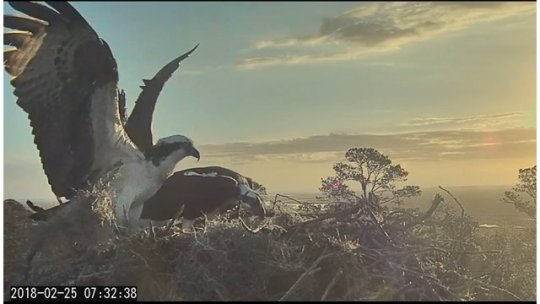Home sweet home  Ospreys take interest in The Landings Bird Cam nest Ospreys take interest in The Landings Bird Cam nest