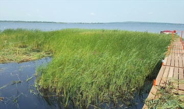 Phragmites, a tall, fast-growing invasive plant, is taking over shorelines all across Georgian Bay.