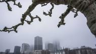 Selbst für die robusten Platanen haben sich die Bedingungen in den Städten verschlechtert; Blick auf das Frankfurter Mainufer.