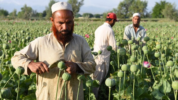 © dpa Farmer arbeiten im Distrikt Nangahar in Afghanistan auf einem Opiumfeld.
