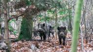 Mahlzeit? Berliner Wildschweine spekulieren auf einen Snack, gehen am Ende aber leer aus.