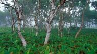 In den lichten Bergwäldern der ostasiatischen Halbinsel Kamtschatka entdeckte Georg Adolf Erman die Goldbirke, die später nach ihm benannt wurde: Betula ermanii auf den Kurilen.