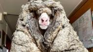 Verfilztes Schaf nach Jahren von mehr als 35 Kilo Wolle befreit