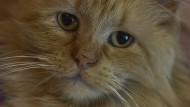 In Costa Rica haben Gefängniswärter eine Katze mit Schmuggel-Handys geschnappt. (Hier im Archivbild eine völlig unschuldige Maine-Coon-Katze)