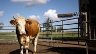 Wird nun alles besser in der Landwirtschaft? Eine Kuh auf einem Bio-Bauernhof in Nordrhein-Westfalen