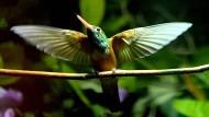 Einer der 82 Kolibris bei der Inventur des Vogelparks im Februar, bei der die Bewohner gezählt, gewogen und gemessen werden.
