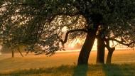 Die kühle Morgensonne sorgt auch bei den Blattbewohnern dieser Apfelbäume für ein angenehmes Klima.