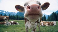 Rind oder nicht Fleisch, das ist hier die Überlebensfrage.