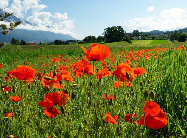 Rote Mohnblumen Thema Auf Meinbezirk At