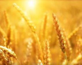 Bild av varm sol på ett kornfelt.