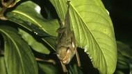 Überhitzte Fledermäuse: Siesta im Blätterwald