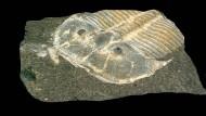 Dieses von der Universität zu Köln veröffentlichte Bild zeigt eine 3-dimensionale Ansicht eines 429 Millionen Jahre alten versteinerten Trilobiten.