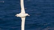 Rekordhalter: Der Wanderalbatros hat eine Spannweite von dreieinhalb Metern und legt jährlich bis zu 120.000 Kilometer zurück.