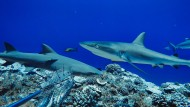Die Zahl der Haie an Korallenriffen weltweit ist einer Studie zufolge deutlich zurückgegangen.