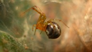 Verfangen sich einmal nicht ausreichend Fliegen in der Spinnen-WG, müssen auch arteigene Männchen oder Eier als Speise herhalten.