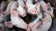 """Agrarökonom Achim Spiller: """"Landwirte, die Schweine verkaufen, zahlen drauf"""""""