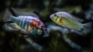 Nicht nur die Färbung ist aggressiv: dominantes (links) und untergeordnetes (recht)  Männchen der Buntbarschart Astatotilapia Burtoni.
