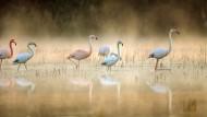 Eine bunte, interkontinentale Flamingomischung, die sich Westfalen wohlfühlt: Flamingos im Venn.