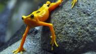 """Ein Goldfröschchen aus Panama.  Im """"El Nispero Zoo"""" in El Valle werden seit Jahren Dutzende Froscharten vermehrt, weil ihre Bestände in der Wildnis rapide geschrumpft sind."""