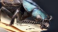 Der Holotyp von Darwinilus sedarisi.