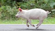 Davonlaufen ging nicht: Die Yale-Forscher haben als Schlachtvieh gedachte Tiere für ihre Hirnexperimente benutzt.