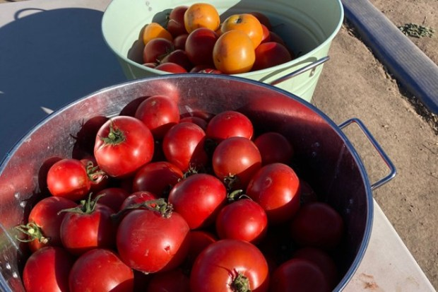 A sampling of Well Rooted's abundant tomato crop—which included roughly 11,000 tomatoes. - GARY BRUCE