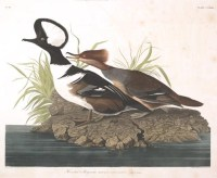 Why show you this hooded merganser? Youll find out after the jump.