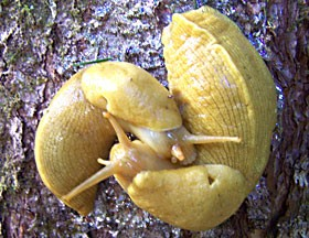 92 Banana Slug Friends Of Edgewood Banana Slug Love